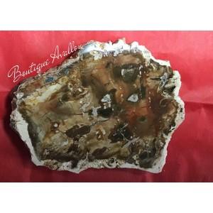 Bois Pétrifié (fossile)